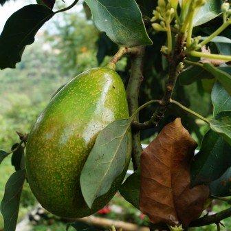 Milieubewuste fun: kweek je eigen avocado boom